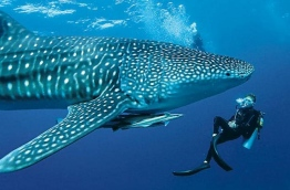 A diver pictured up-close with a whale shark in South Ari atoll. PHOTO: VICTORIA MONK/TELEGRAPH