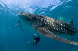 Divers pictured up-close with a whale shark in South Ari atoll. PHOTO/GETTY IMAGES