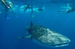 A diver pictured up-close with a whale shark in South Ari atoll. PHOTO/SUN ISLAND RESORT