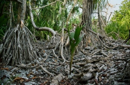 The suspected site of a fort built in the 16th century in the Koattey area in Hithadhoo, Addu. PHOTO/AISHATH NAJ