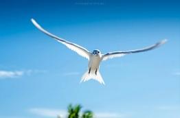 Dhon dheeni, or White Tern, in Addu atoll. PHOTO/AISHATH NAJ