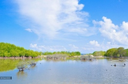 The biodiversity rich mangrove swamp of HDh. Kulhudhuffushi. PHOTO/ MI HAAZ