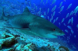 Tiger Shark - considered one of the best assets of Fuvahmulah's dive sites. PHOTO/FUVAHMULAH DIVE