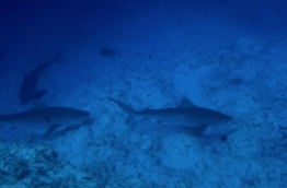 Three tiger sharks spotted off the coast of Fuvahmulah. PHOTO/FUVAHMULAH DIVE