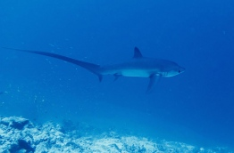 Thresher shark off the coast of Fuvahmulah. PHOTO/FUVAHMULAH DIVE