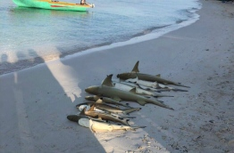 Dead sharks, which were caught in a fishing net, laid out on the beach of A.A. Ukulhas. PHOTO/ANONYMOUS