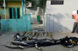 Dead sharks caught in a fishing net in A.A. Ukulhas, laid out in front of the island's council office. PHOTO/ANONYMOUS