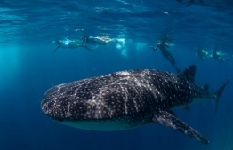 The majestic whale sharks which can be spotted all year around near Dhigurah. PHOTO: ISLAND DIVE CENTER