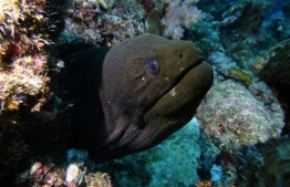 A giant moray eel photographed during the PADI Women's Dive Day on July 21, 2018. PHOTO/MOODHU GOYYE