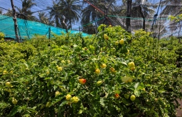 Chilly cultivation in Anhenunfushi, baa atoll