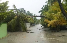 A fallen palm tree in the wake of a tornado in Dh.Bandidhoo -