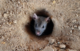 """(FILES) In this file photo taken on July 28, 2015 an Indian rat looks out of a hole in the ground in Allahabad. Indian authorities in the southern state of Kerala said September 4 that """"rat fever"""" and other diseases have killed 14 people in the wake of the worst floods in almost a century.  / AFP PHOTO / Sanjay Kanojia"""