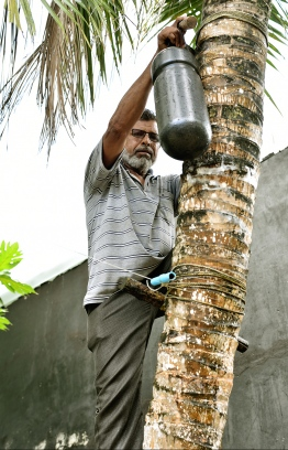 Ali Abdurrahman climbing the coconut palm to collect toddy. PHOTO: HAWWA AMAANY ABDULLA/THE EDITION