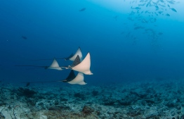 Eagle rays are frequent visitors at the gorgeous house reef of Six Senses Laamu. PHOTO/SIX SENSES LAAMU