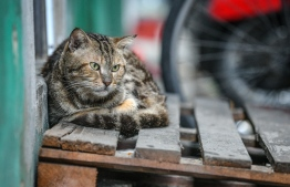 A stray cat in the capital city of Male'. PHOTO: NISHAN ALI/ MIHAARU