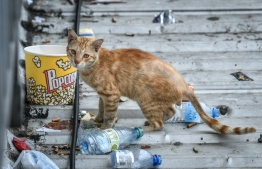 A stray cat in Male' City. PHOTO: NISHAN ALI / THE EDITION