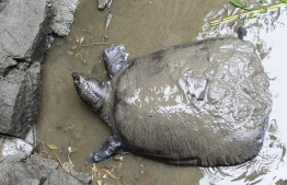This photo taken on May 6, 2015 shows a female Yangtze giant softshell turtle at Suzhou Zoo in Suzhou in China's eastern Jiangsu province. - The world's largest turtle is on the brink of extinction after a female specimen died on April 13, 2019 at Suzhou zoo, leaving behind just three known members of the species. (Photo by STR / AFP) /