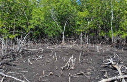 A protected area of the Kendhikulhudhoo, Noonu Atoll, wetland area. PHOTO: PROJECT REGENERATE