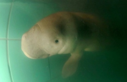 "An orphan baby dugong has been named ""handsome sea prince"" by one of Thailand's  princesses. PHOTO: AFP"