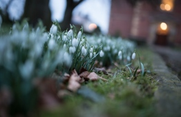 Snowdrops in early Spring... PHOTO: JONATHAN FARBER/UNSPLASH