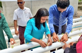 Minister Zaha Waheed planting lettuce with the hydroponics system as part of the inauguration ceremony. PHOTO: MINISTRY OF FISHERIES, MARINE RESOURCES AND AGRICULTURE