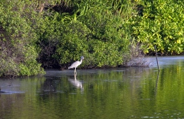 Grey Heron pictured in a mangrove in Maldives. PHOTO: United Nations Development Programme (UNDP)