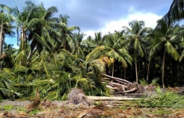 Palm trees felled in Baarah, Haa PHOTO: ADAM ABDULLA