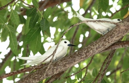 A pair of 'dhondheeni', the white tern endemic to Addu in Maldives. PHOTO: HAWWA AMAANY ABDULLA