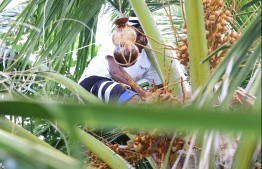 Iqbal on his morning routine, seen atop a coconut palm to collect toddy, PHOTO: HAWWA AMANY ABDULLA / THE EDITION